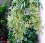 Zielistka – roślina dla każdego