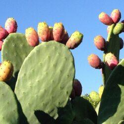 Olejek z opuncji figowej – naturalny botoks z dalekich wysp